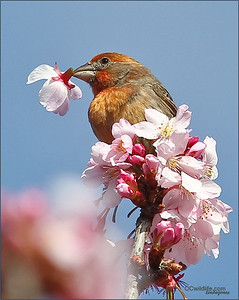 House Finch tossing out the flowers