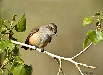 female Vermilion Flycatcher