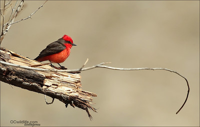 Vermilion Flycatcher, love this guy! He sure stands out in a crowd!