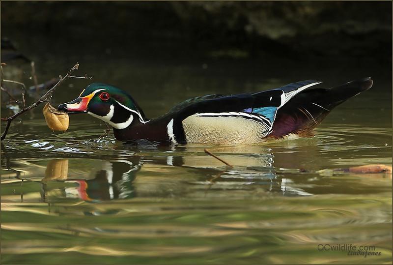 My favorite Wood Duck pose