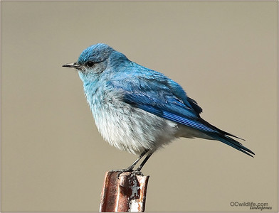 Mountain Bluebird, Riverside county.