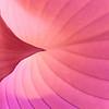Pale Pink Hosta
