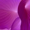 Purple Hosta