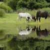 Reflected Horses, Scotland