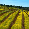 Mustard in Vinyard, Dry Creek