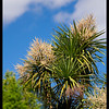 NZ Cabbage Tree in bloom. KM7D with Pentax SMC Takumar 135/2.5