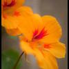 nasturtium cropped<br /> KM7d | Pentacon 50/1.8