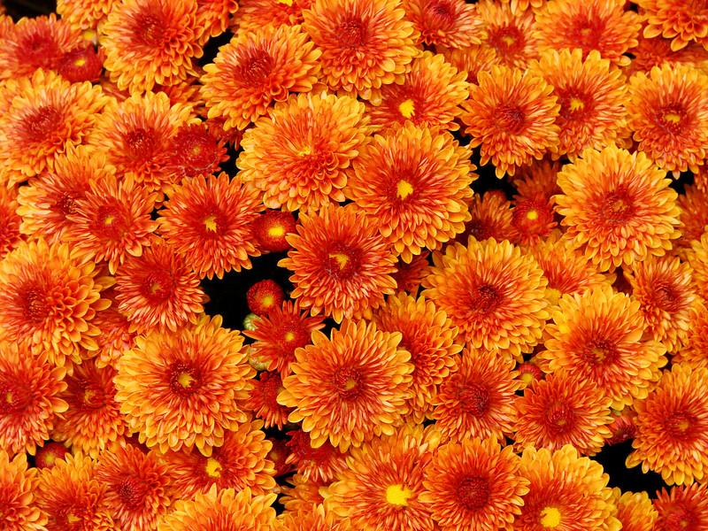 Leah Gilbert: Autumn Mums [20071202 competition]