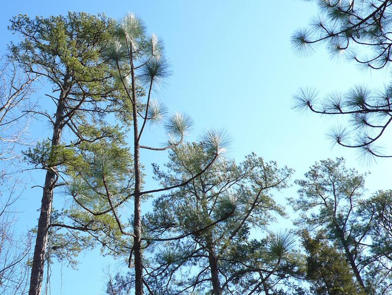 Carolina Pines Stare at Carolina Blue Sky (3)