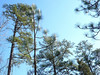 Carolina Pines Stare at Carolina Blue Sky (3)