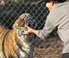 Important to Tigers: Animal Rescue Volunteers