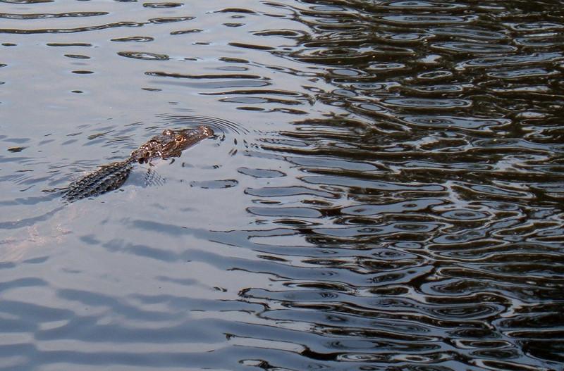 Natalie Ammarell: Gator ripples [20110220 competition]