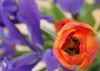 Purple tulip? - Leslie Smith
