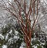 Red Tree White Snow - David Swan