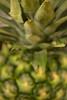 Unripe Pineapple