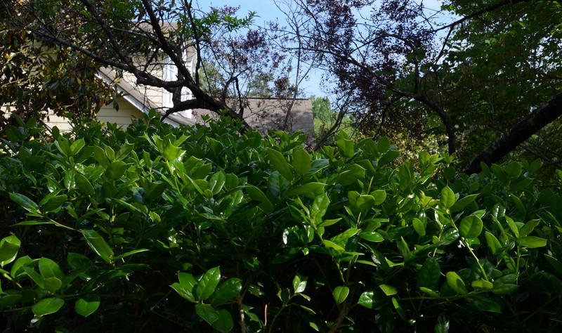 Songyun Zhu: 8-Green Holly in My Yard