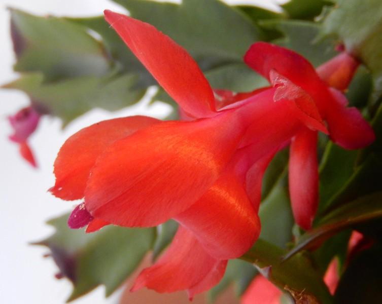 4th Prize, Christmas cactus flower - Sarah Weller Pegna