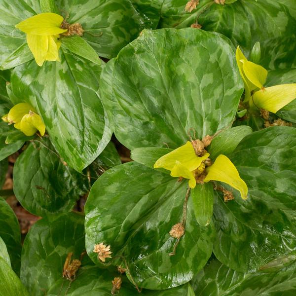 Annie Arnold: Yellow Trillium