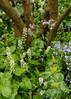 Annie Arnold: Foam Flower Trillium