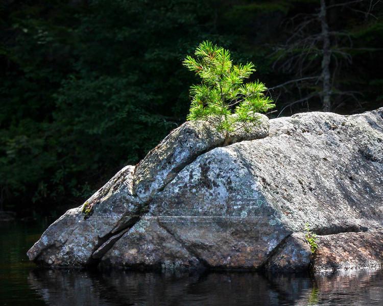 Ed Pattishall: Tree on Rock