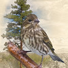Composit image of a Pine Siskin and Ponderosa Pine