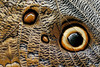 Owl Eye Butterfly Wing Closeup