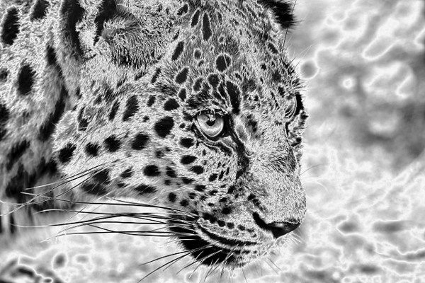 Chromed Leopard<br /> <br /> On occasion a color image just doesn't work out the way I had hoped.  In this case the color cast was so bad that I could not remove it conventionally or by converting the image to black and white.  I really liked the composition and wanted to rescue the image in some way so I resorted to trying the many filters found in Photoshop.  I am really pleased with the way this chromed version turned out.