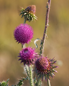 Thistle.  Four shots were combined to make this picture.  Taken from tripod with the focus point moved from head to head with shallow depth of field.  Planned this all in focus shot.