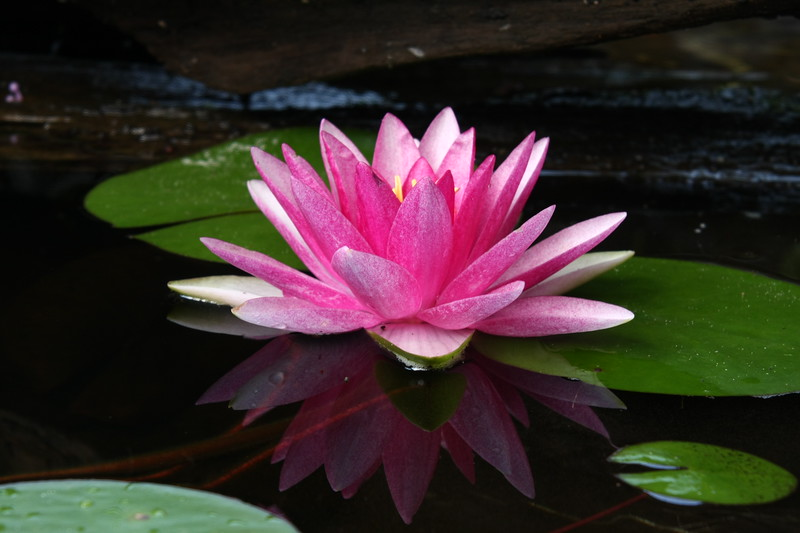 """Pink Water Lily 2"""