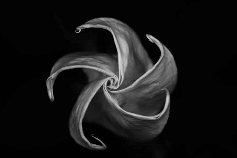 """Moon Lily"" Black & White"