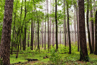 Beautiful Forest of Loblolly Trees