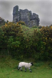 Castle and Sheep, Ventry, Dingle Peninsula