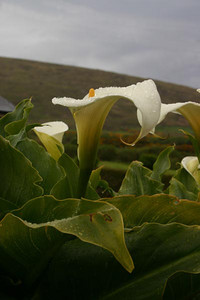 Calla Lillies in the South