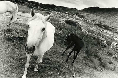 Connemara Ponies 6, Roundstone