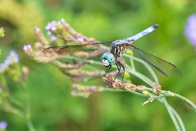 20190619_AnahuacNWR_Butterfly_Garden_Blue_Darter_Dragonfly_500_8322