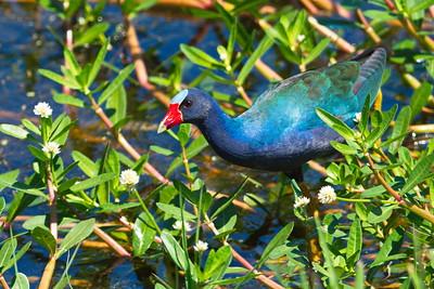 Purple Gallinule:  Winner of Week 9