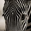 Zebra<br /> DSS #55 (Stripes)