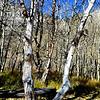 Fall Trees at Convict Lake near Mammoth Lakes California 2