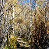 Fall Trees at Convict Lake near Mammoth Lakes California 3