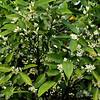 Orange Blossums