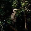 Neighborhood Egret