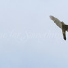 Sharp-shinned Hawk;