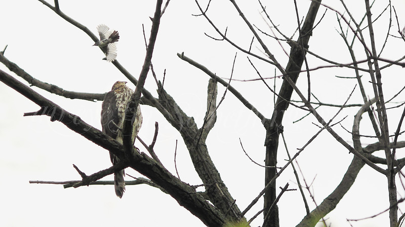 Cooper's Hawk and Blue-gray Gnatcatcher