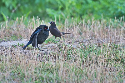 Bronzed Cowbirds (Mating Dance)
