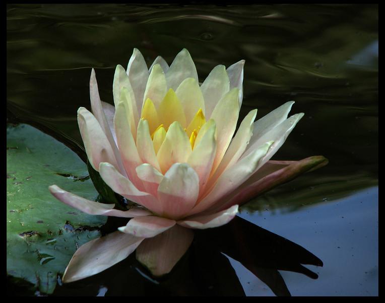 The Lily- by Gorodn Hamilton