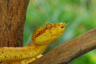 "EYELASH PIT VIPER<br /> ""Orapel""<br /> YELLOW FORM<br /> Bothriechis schlegelii<br /> HEAD SHOT"