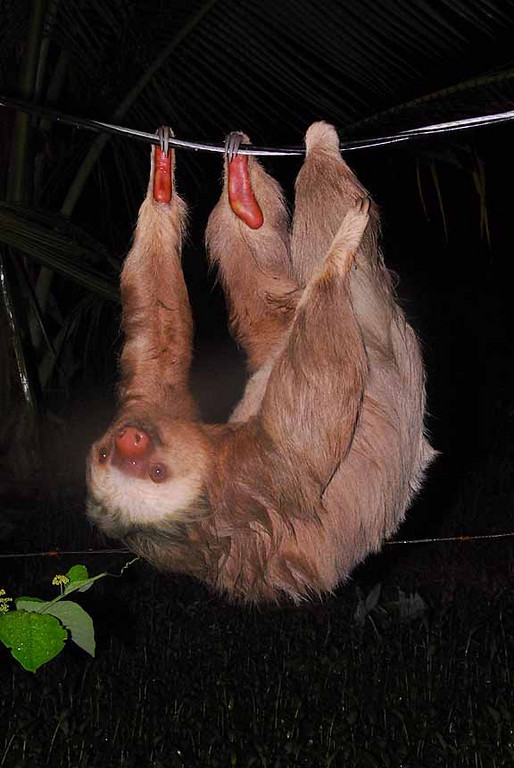 TWO TOED SLOTH<br /> Choloepus didactylus<br /> hangong on electic wire