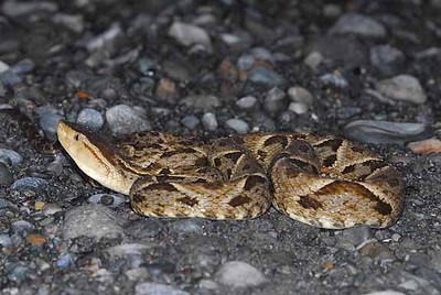 FER-DE-LANCE AKA TERCIOPELO<br /> Bothrop asper<br /> basking on warm road