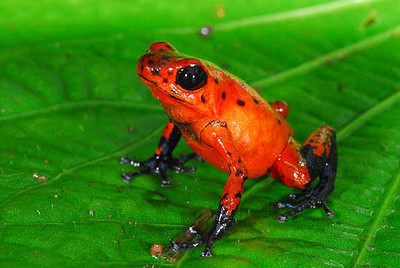 STRAWBERRY DART FROG<br /> Dendrobates pumilio