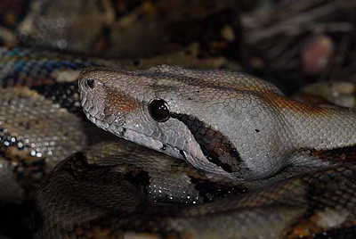 COSTA RICAN BOA CONSTRICTOR<br /> head shot